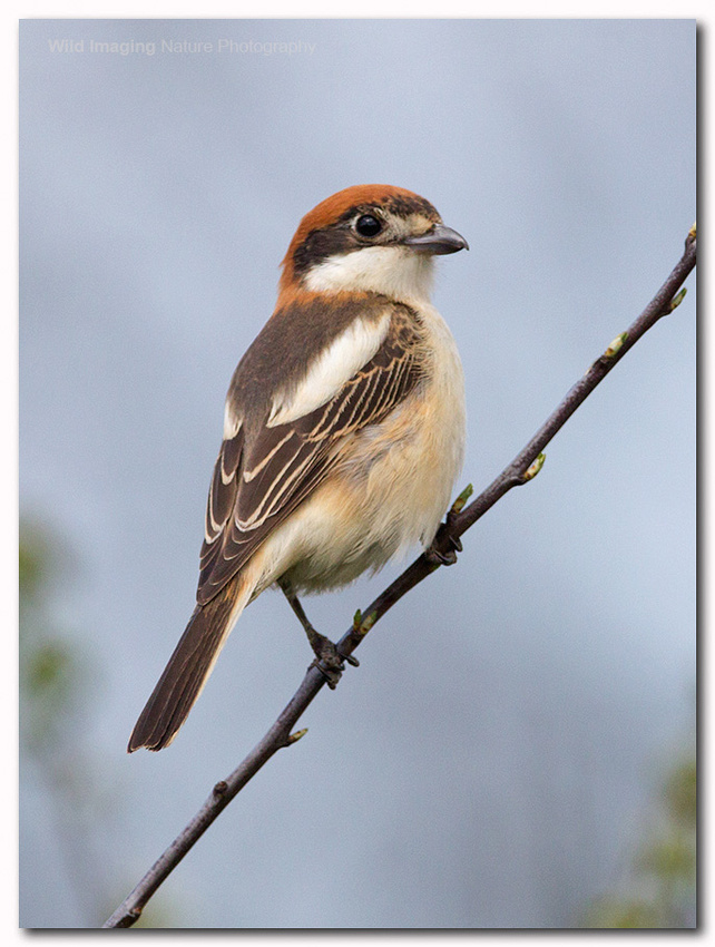 Woodchat shrike 7