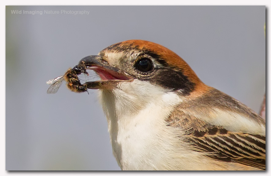 Woodchat shrike 6