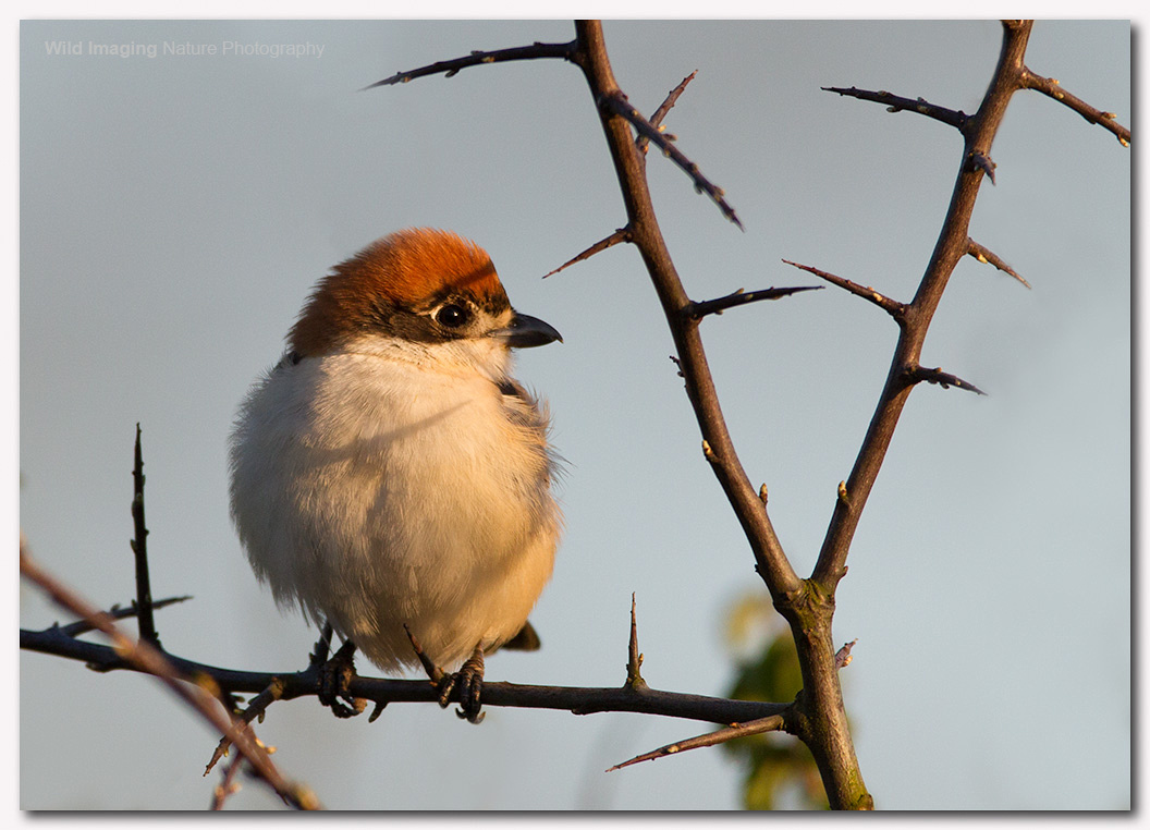 Woodchat shrike 1
