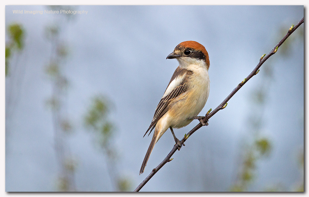 Woodchat shrike 8