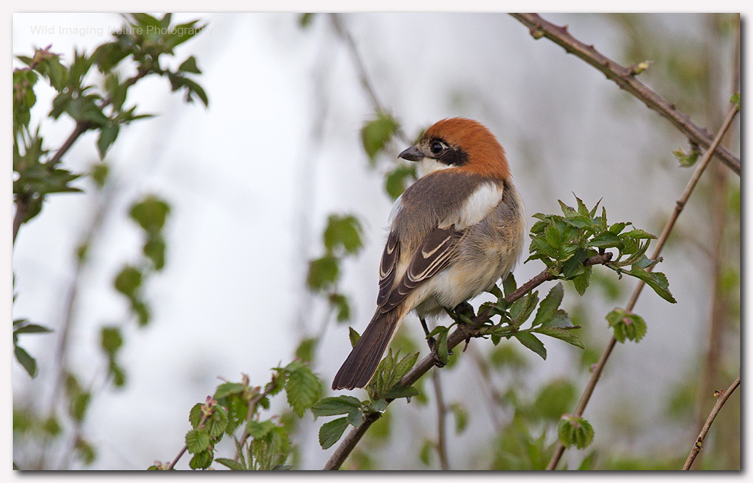 Woodchat shrike 12