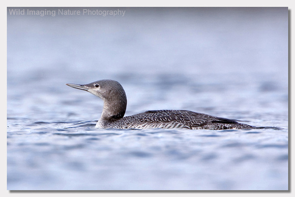 Red-throated diver - Gavia stellata