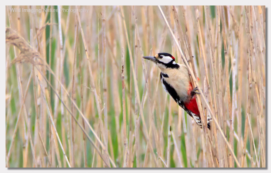 Great-spotted woodpecker on reeds