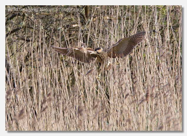 Bittern Approach Shot