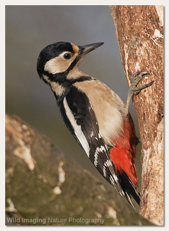 Great spotted woodpecker - Dendrocopos major