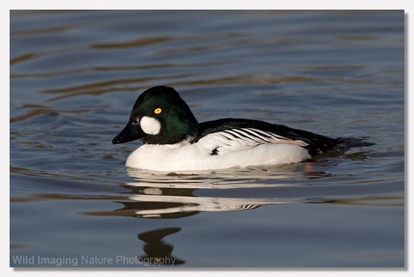 Goldeneye - Bucephala clangula (captive bird at Slimbridge)