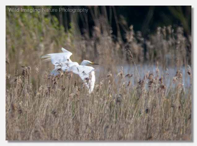 Great White Egret Nest Approach