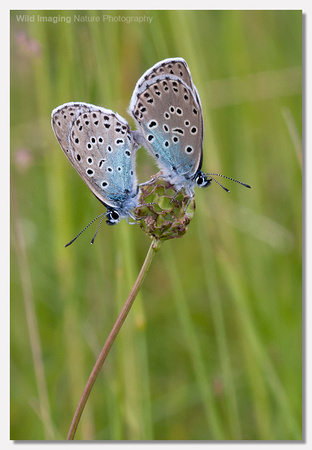 Large blue butterfly - Maculinea arion