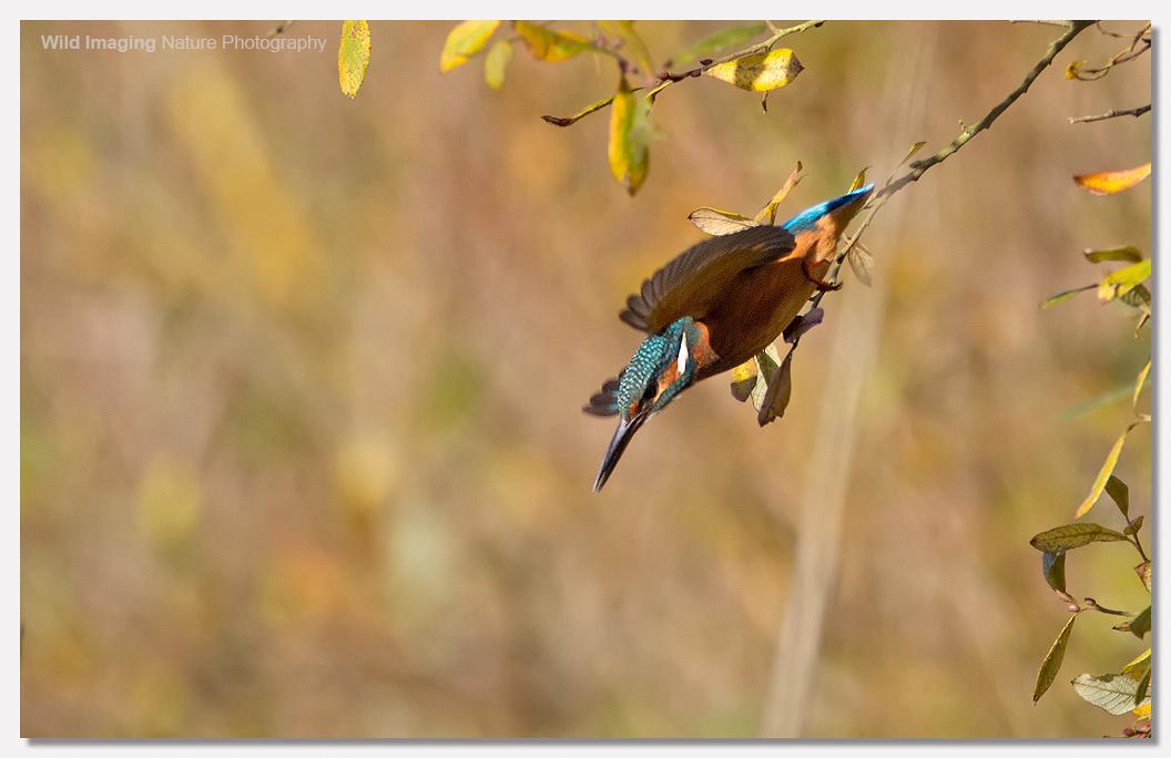Kingfisher Shapwick Heath NNR 3