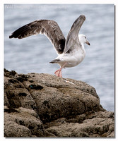great_black-backed_gull