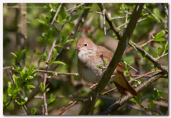 Nightingale - Luscinia megarhynchos